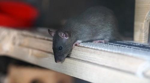 potkani - Jak se účinně zbavit potkanů na vaší zahradě