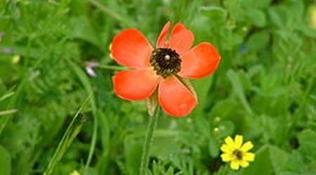 pryskyřník asijský - Plnokvěté pryskyřníky kvetou i dva měsíce, potřebují však hodně vody