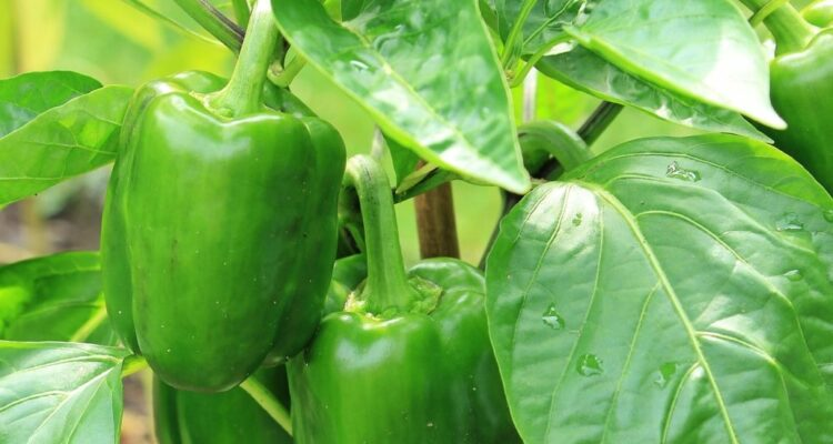 zelená paprika