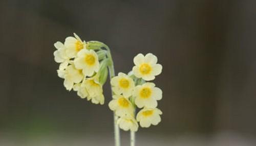 Primula - Prvosenku můžete pěstovat i jako pokojovku, stačí zvolit tu pravou