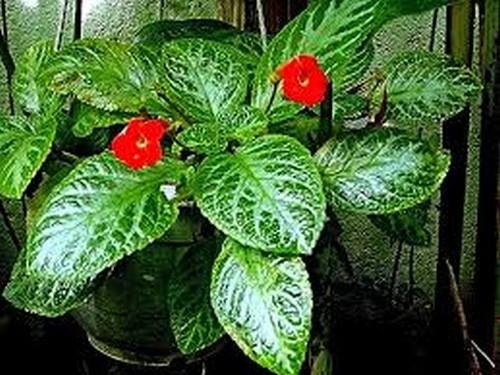 episcia - Episcie, pokojovka okrasná listem i květem