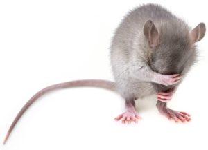 """krysa 300x217 - Znáte """"hlodavčí energeťáky""""? Nezvané návštěvníky hubí rychle, aniž by ublížily psům anebo kočkám"""