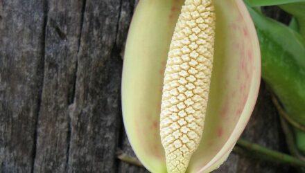 květ syngonium