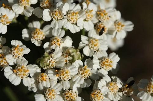 květy řebříčku - Řebříček jako úporný plevel? Vyzkoušejte ho raději v kuchyni