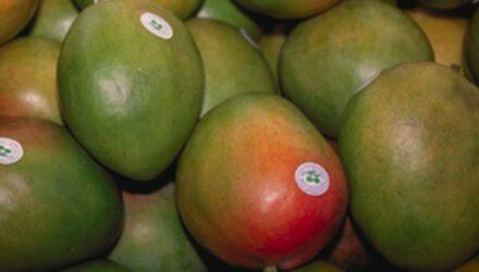mango ovoce 440x250 - sazenicka.cz