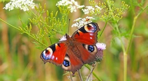 motýlek - Jak přilákat do vaší zahrady motýly. Dejte jim útočiště a pestrou zahradu plnou květin