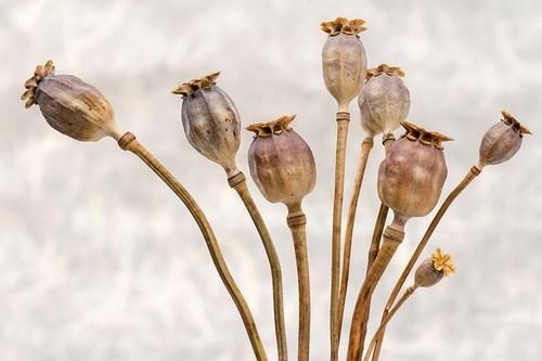 sušený mák - Jak aranžovat suchou vazbu a co je k tomu potřeba