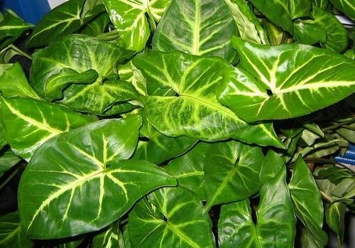 syngonium - Syngonium: Dlouhověká popínavá pokojovka s překrásnými listy