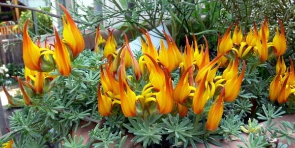 Lotus - Hledáte impozantní balkonovou rostlinu? Zkuste pěstovat štírovník