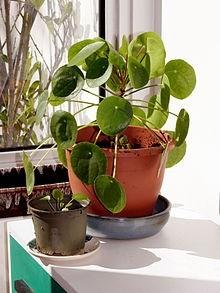 Pilea peperomioides - Pilea peperomioides: Rostlina, kterou objevili nadšenci dřív, než botanici