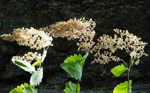 celotercnik - Celoterčník: Keř s bohatým květenstvím a zajímavými plody