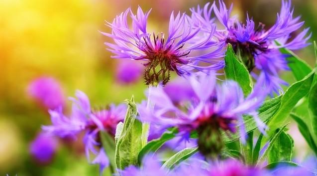 chrpa rostlina - Proč pěstovat na zahradě chrpu? Umí totiž víc, než jen ozdobit záhony
