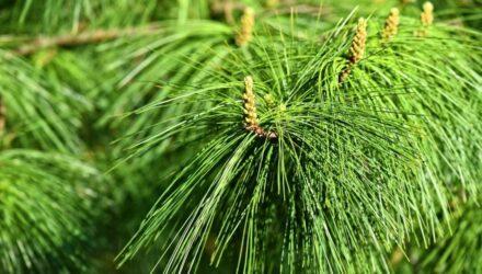 himalajská borovice
