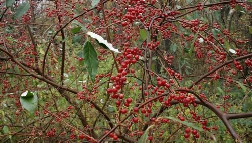 hlosina - Hlošina okoličnatá – málo známý keř s jedlými plody