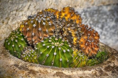 kaktus - Nejčastější nemoci kaktusů. Naučte se, jak je rozpoznat, a jak proti nim bojovat