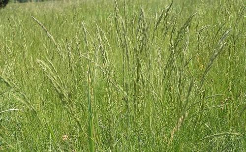kostřava - Co pěstovat v blízkosti ořešáku? Víme, kterým rostlinám jeho blízkost nevadí