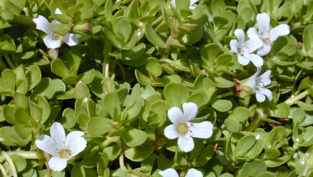 květy bakopa - Bakopa – převislá a bohatě kvetoucí letnička