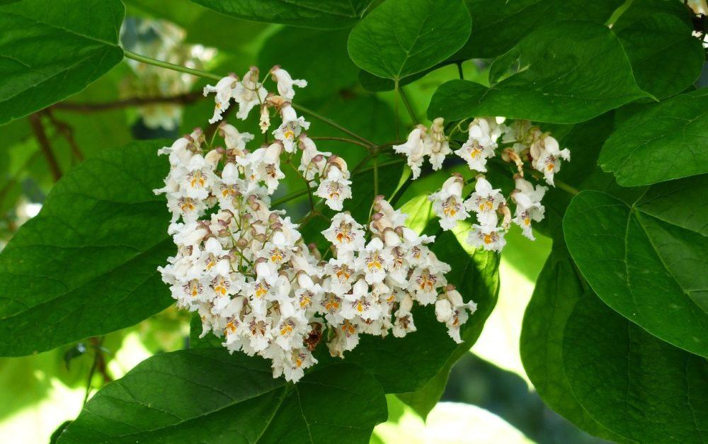 květy katalpa - Katalpa je okrasná dřevina, která krásně voní