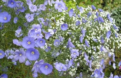 len vytrvalý - Len – blankytně modré kvítky, které vydrží i sucho