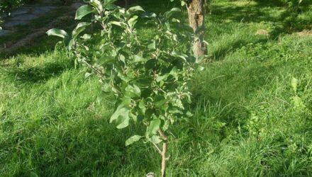 mladý stromek