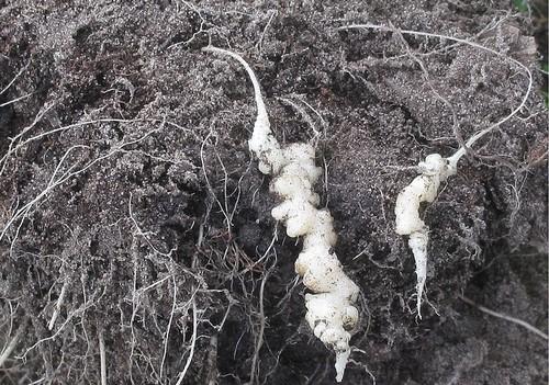 nádorovitost kořenů - Květák je sice náročná plodina, ale za péči se odmění