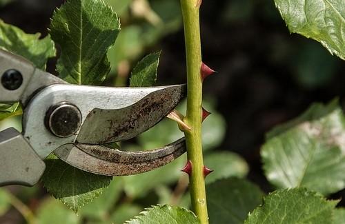 nůžky - Vše o řezu růží – selský rozum je důležitější, než přesné počítání puků