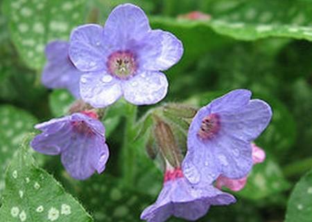 plycník - Plicník lékařský je jednou z prvních jarních bylinek. Proč a kde ho sbírat?