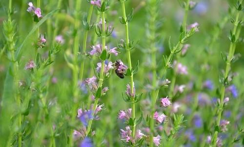 rostlina - Které rostliny odpuzují klíšťata? Vysázejte si je na zahradě