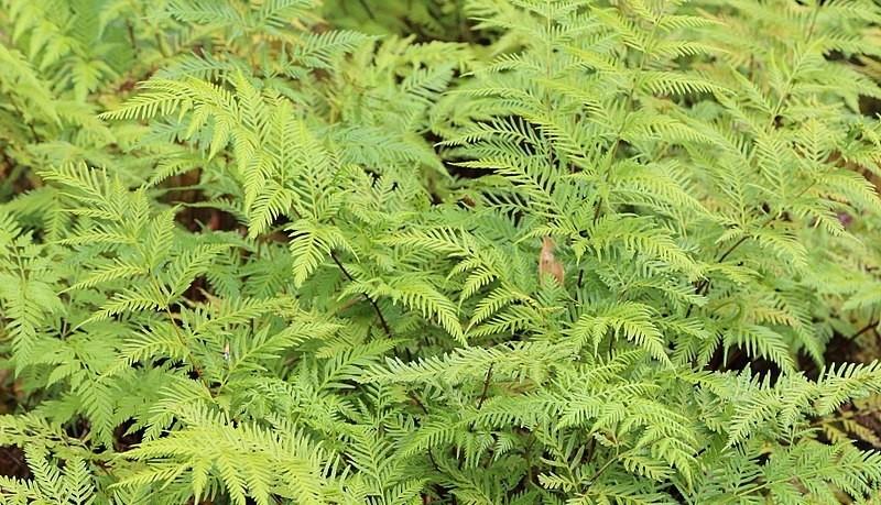 Pteris tremula - Nejjednodušší kapradina na pěstování je křídelnice