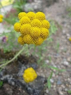 břinek roční - Břinek roční – nenáročná letnička se žlutými květy