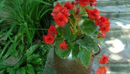 begonie rostlina
