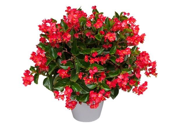begonie - Nejkrásnější květiny do závěsných košíků