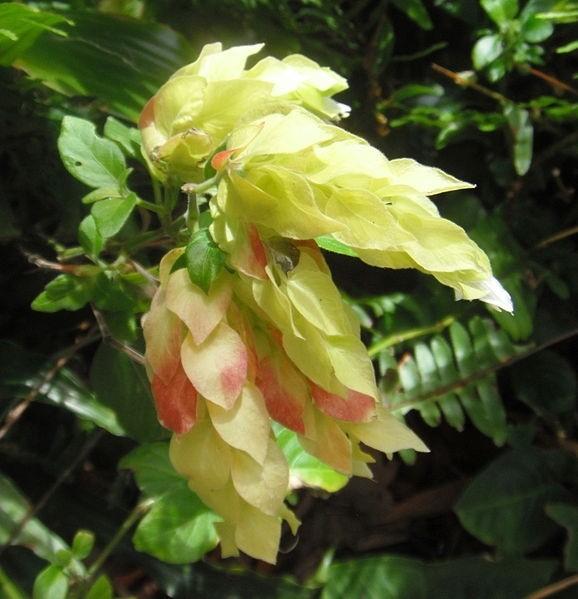 garnátová květina - Chmelíček neboli garnátová květina vám doma pokvete po celé léto