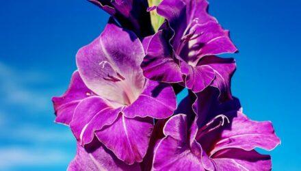 gladiolus 440x250 - sazenicka.cz
