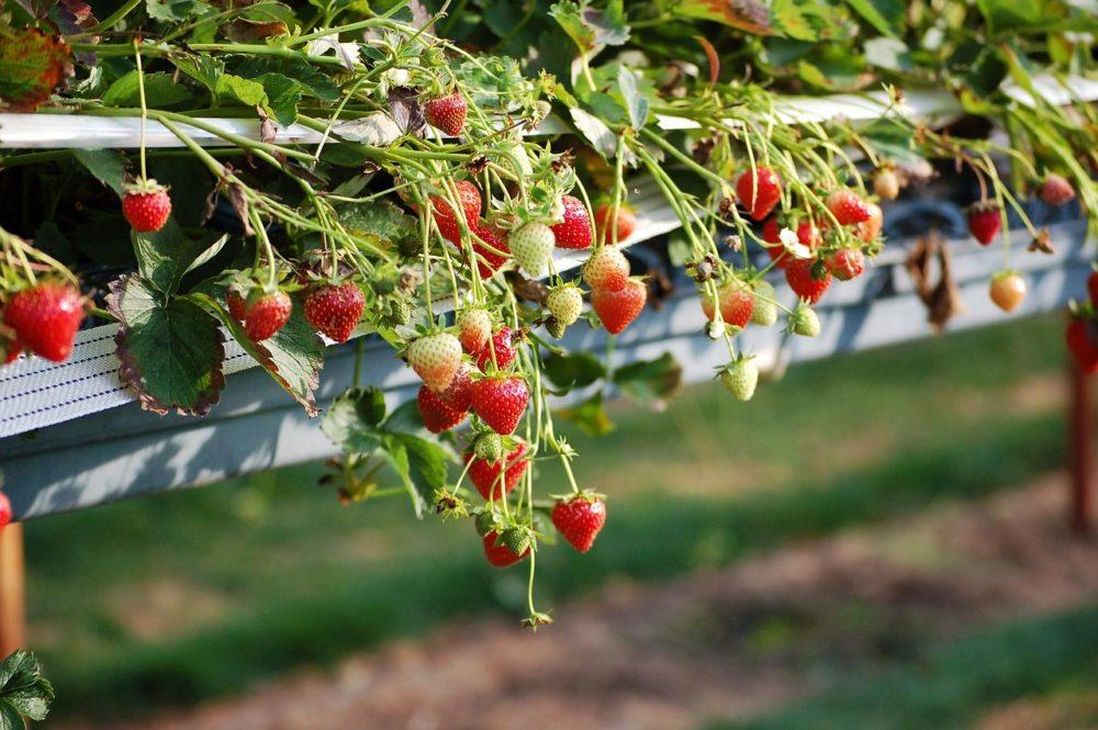jahody - Měsíční jahody, jsou stále - plodící a sklízet můžete ještě letos