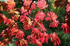 javor japonský - Výběr vhodného stromu do malé zahrady: Na co si dát pozor a které druhy jsou vhodné