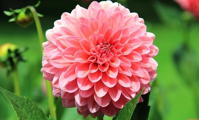 jiřina - Na konci dubna nezapomeňte zasadit poslední hlíznaté rostliny