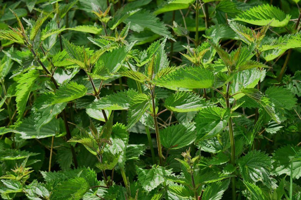 kopřiva 1 - Nálev a hnojivo z kopřiv pomůže chránit zahradu biologicky
