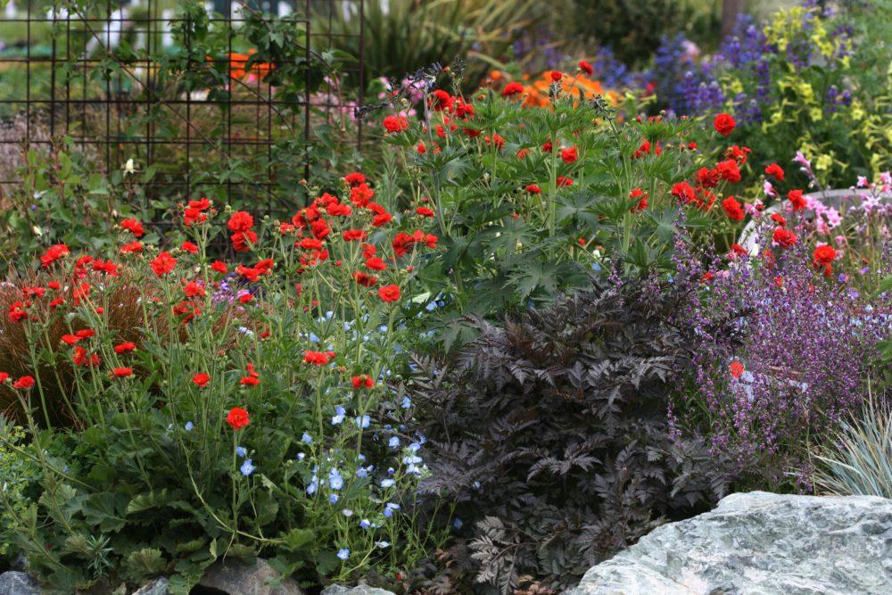 kukliky - Kuklík šarlatový: Půvabná trvalka s cihlově červenými květy