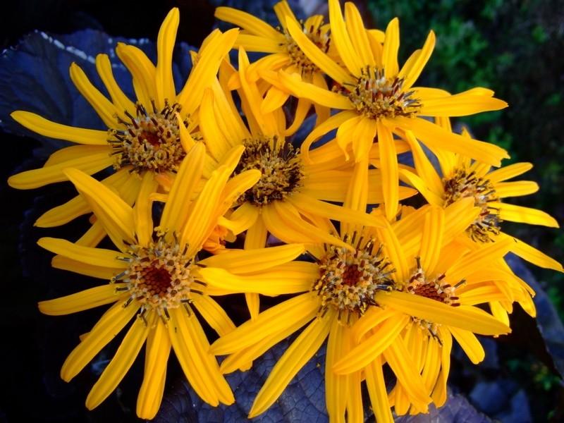 ligularia - Popelivka: Kvete na podzim a daří se jí i ve stínu