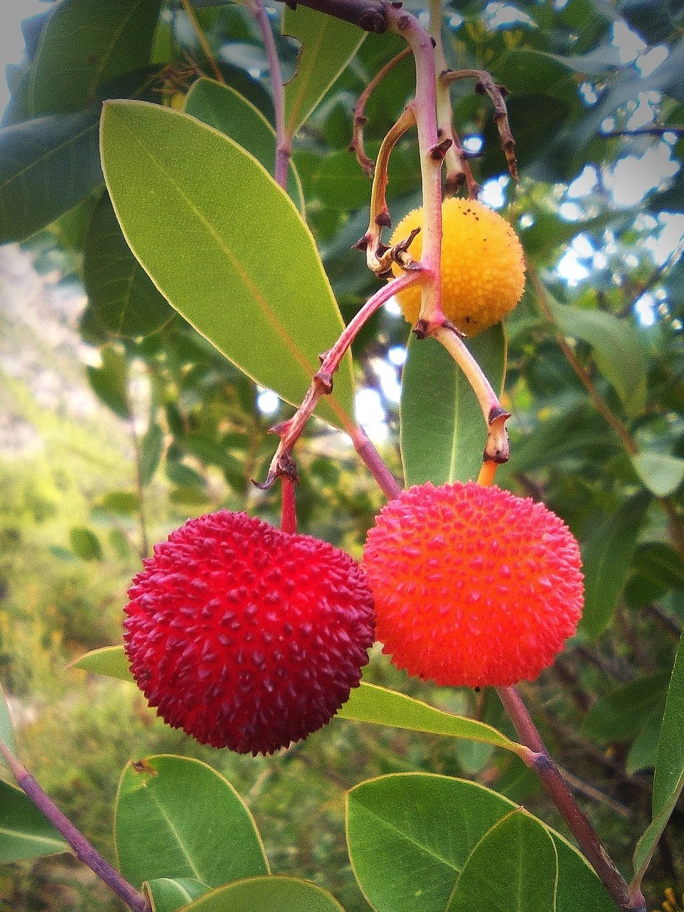 planika obecná - Planika obecná neboli jahodový strom: Vyznačuje se dlouhověkostí a nenáročností na pěstování