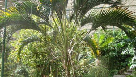 rajská palma 440x250 - sazenicka.cz
