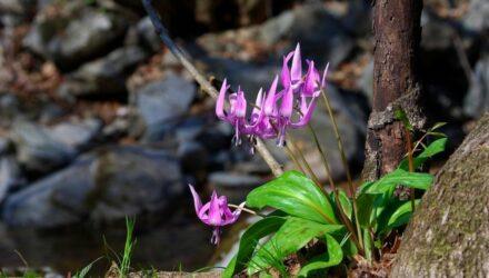 rostlina kandik