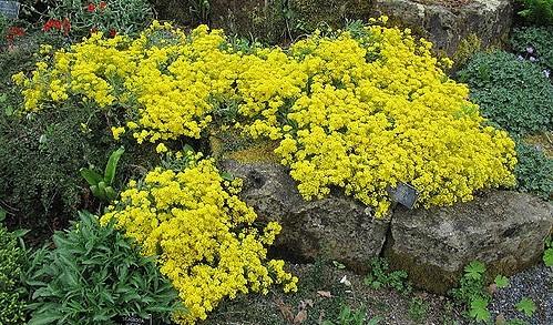 tařice - Tařice skalní – projasní vaši skalku žlutými kvítky