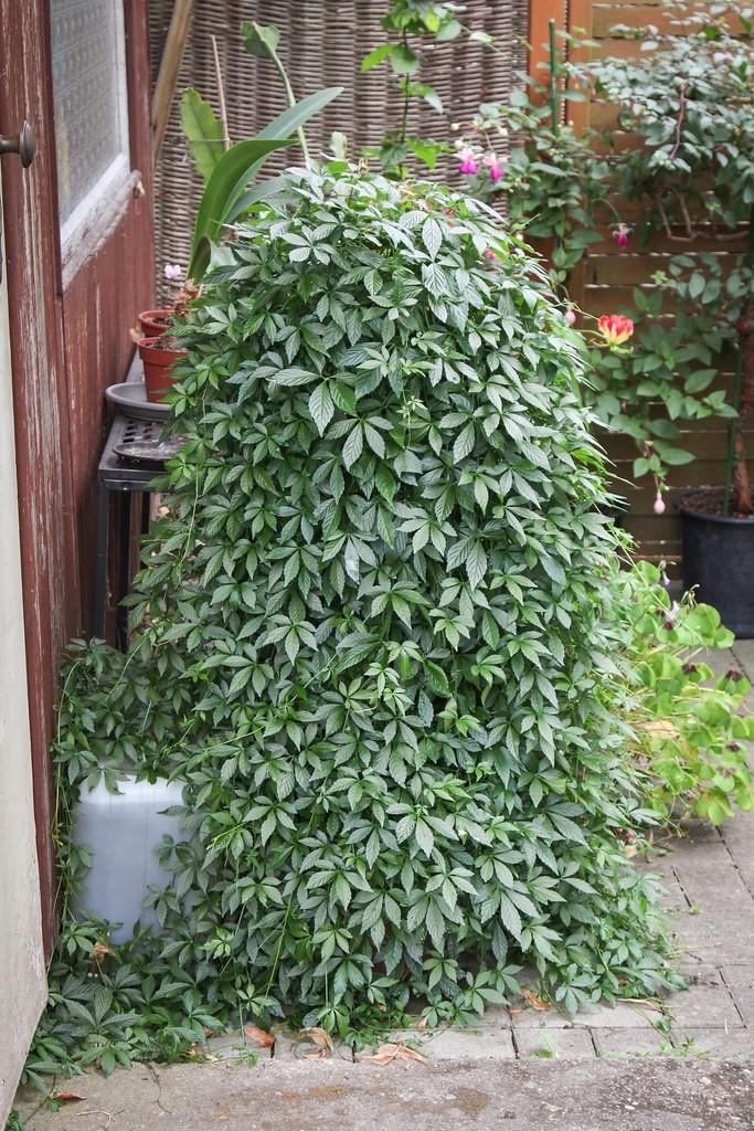 zensen rostlina - Ženšen pětilistý: Elixír života, který můžete pěstovat doma i na balkoně