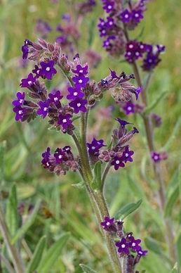 Anchusa - Pilát lékařský: Známá či méně známá bylina nejen pro zlepšení psychiky