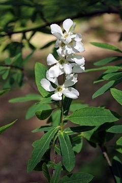 Exochorda - Skvostný keř poutající pozornost svými květy