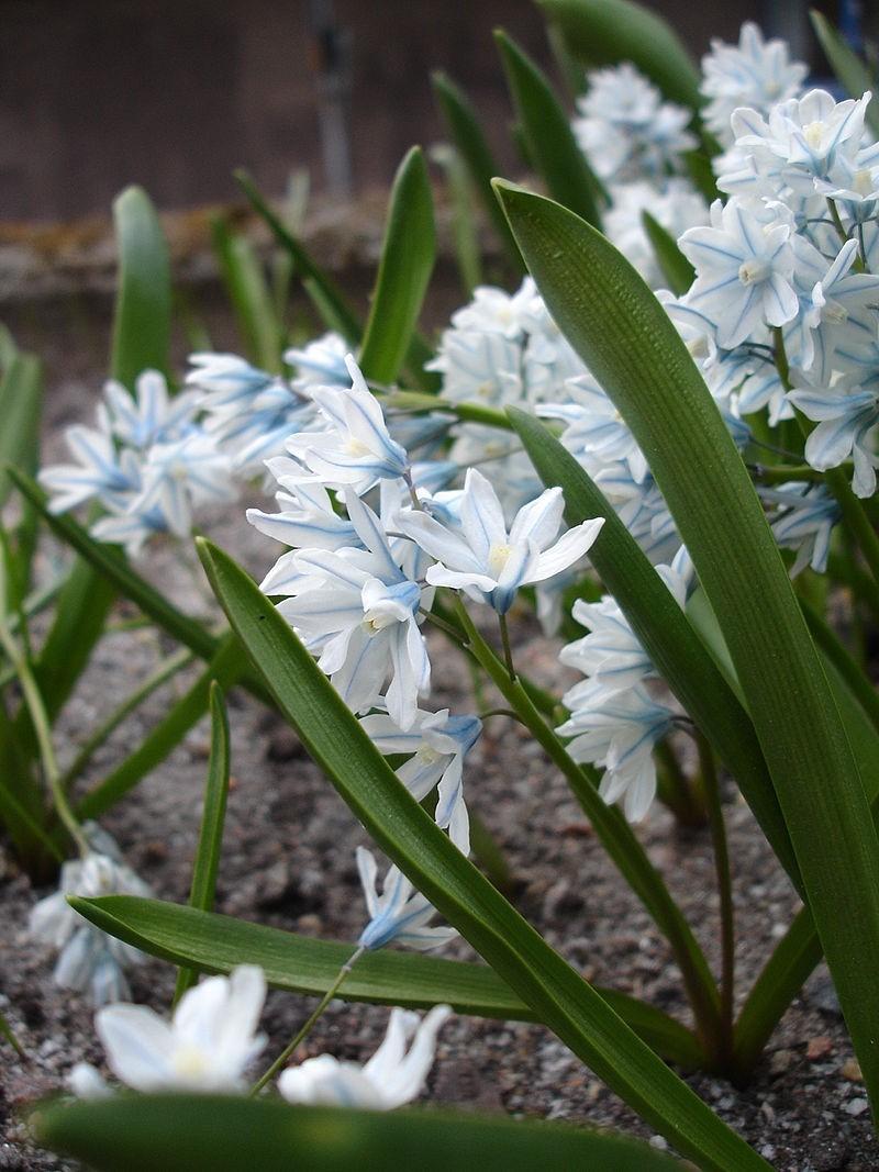 Puschkinia - Proč si na zahradu vysadit puškinii ladoňkovitou