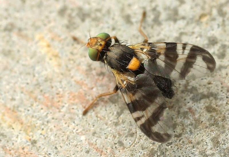 Rhagoletis cerasi - Teď je obzvláště potřeba zabojovat proti škůdcům v ovocné zahradě