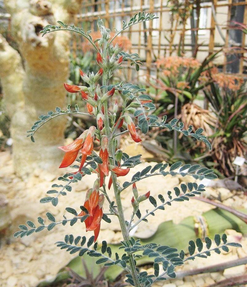 Sutherlandia frutescens - Sutherlandia: Seznamte se s léčivou bylinou. Pomáhá také léčit i rakovinu